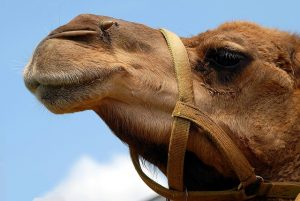 Camel Alpitour